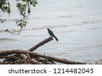 black songbird perches on a... | Shutterstock . vector #1214482045