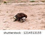 Hawk Gut Rabbit  Strong Defeats ...