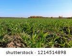 winter grain crops green field... | Shutterstock . vector #1214514898