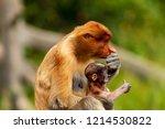 wild mother and baby proboscis... | Shutterstock . vector #1214530822