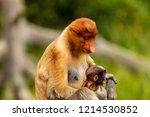 wild mother and baby proboscis... | Shutterstock . vector #1214530852