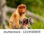 wild mother and baby proboscis... | Shutterstock . vector #1214530855