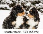 Snowy Bernese Mountain Dog...