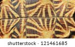 Stock photo wild reptiles from namibia africa leopard skinned tortoise from underneath 121461685