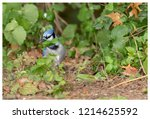 blue jay   the blue jay is a... | Shutterstock . vector #1214625592