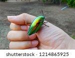 buprestidae insect on finger... | Shutterstock . vector #1214865925