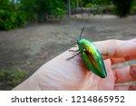 buprestidae insect on finger... | Shutterstock . vector #1214865952