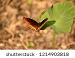 common crow butterfly  west... | Shutterstock . vector #1214903818