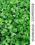 common water hyacinth   Shutterstock . vector #1214905318