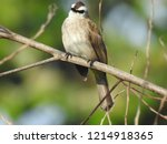 the bulbuls are a family ... | Shutterstock . vector #1214918365