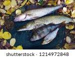 river pike perch  pike  perch ... | Shutterstock . vector #1214972848
