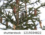 eurasian pygmy owl swabian jura   Shutterstock . vector #1215034822