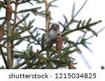 eurasian pygmy owl swabian jura   Shutterstock . vector #1215034825