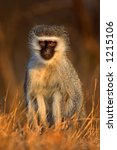 Small photo of Vervet monkey : Cercopithecus Aethiops : South Africa