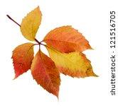 Bright Autumn Leaf  Isolated On ...