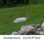 Small photo of The Addax is also knows as the white antelope and the screwhorn antelope