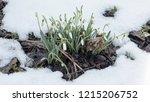 new life. snowdrop in full...   Shutterstock . vector #1215206752