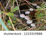 mushrooms mycena alcalina on... | Shutterstock . vector #1215319888