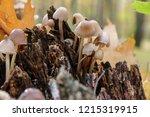 mushrooms mycena alcalina on... | Shutterstock . vector #1215319915