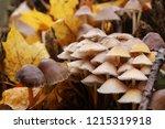mushrooms mycena alcalina on... | Shutterstock . vector #1215319918