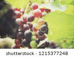 red grapes hanging in the... | Shutterstock . vector #1215377248