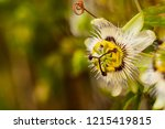 passiflora incarnata blossom... | Shutterstock . vector #1215419815
