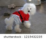 my white poodle dog wearing...   Shutterstock . vector #1215432235