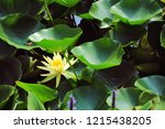 yellow water lily  nymphaea ... | Shutterstock . vector #1215438205