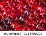 boston ivy   autumnal leaves... | Shutterstock . vector #1215450202