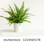 Houseplant Nephrolepis In Whit...