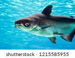 an endangered mekong giant...   Shutterstock . vector #1215585955