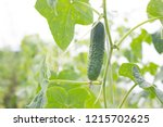 close up of a cucumber or... | Shutterstock . vector #1215702625