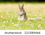 Eastern gray squirrel among white flowers and grass. Montreal, Quebec, Canada, North America. - stock photo