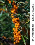 sea buckthorn plant with ripe... | Shutterstock . vector #1216046368