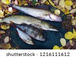 river pike perch  pike  perch ... | Shutterstock . vector #1216111612