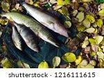 river pike perch  pike  perch ... | Shutterstock . vector #1216111615