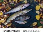 river pike perch  pike  perch ... | Shutterstock . vector #1216111618
