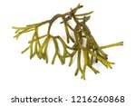 algae isolated on white | Shutterstock . vector #1216260868