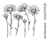 daisy flower drawing. hand... | Shutterstock . vector #1216274218
