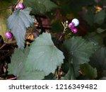 wild purple berries on the... | Shutterstock . vector #1216349482
