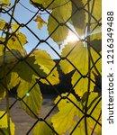 green leaves of hops on the... | Shutterstock . vector #1216349488