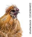 silkie  sometimes spelled silky ...   Shutterstock . vector #1216364602