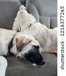 Two Anatolian Shepherd Puppies...