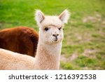 white funny alpaca looking at... | Shutterstock . vector #1216392538