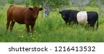 limousin cattle are a breed of... | Shutterstock . vector #1216413532