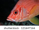 Head of the giant squirrelfish in the tropical ocean - stock photo