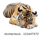 Sleeping Tiger  Isolated On...