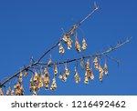Seed Pods Of Box Elder  Acer...