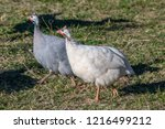 domesticated guineafowl  numida ... | Shutterstock . vector #1216499212