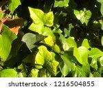 green ivy entangled | Shutterstock . vector #1216504855